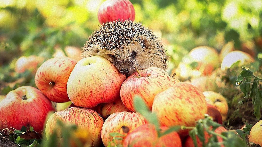 Экспорт яблок из Украины за первое полугодие 2018 вырос в 5,3 раза