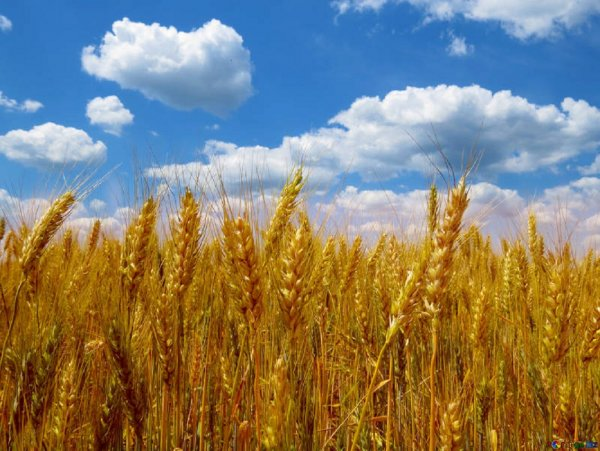 Рекордно высокие объемы продаж российской пшеницы за границу разоряют фермеров США