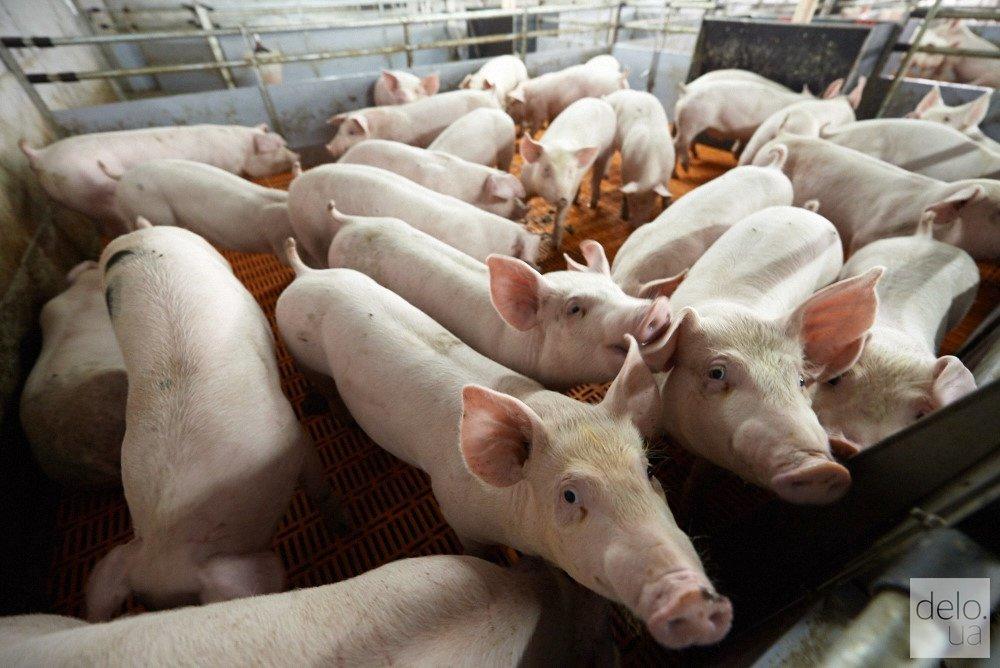 Австрийский фермер инвестирует $3 млн в реконструкцию свинокомплекса в Черкасской области
